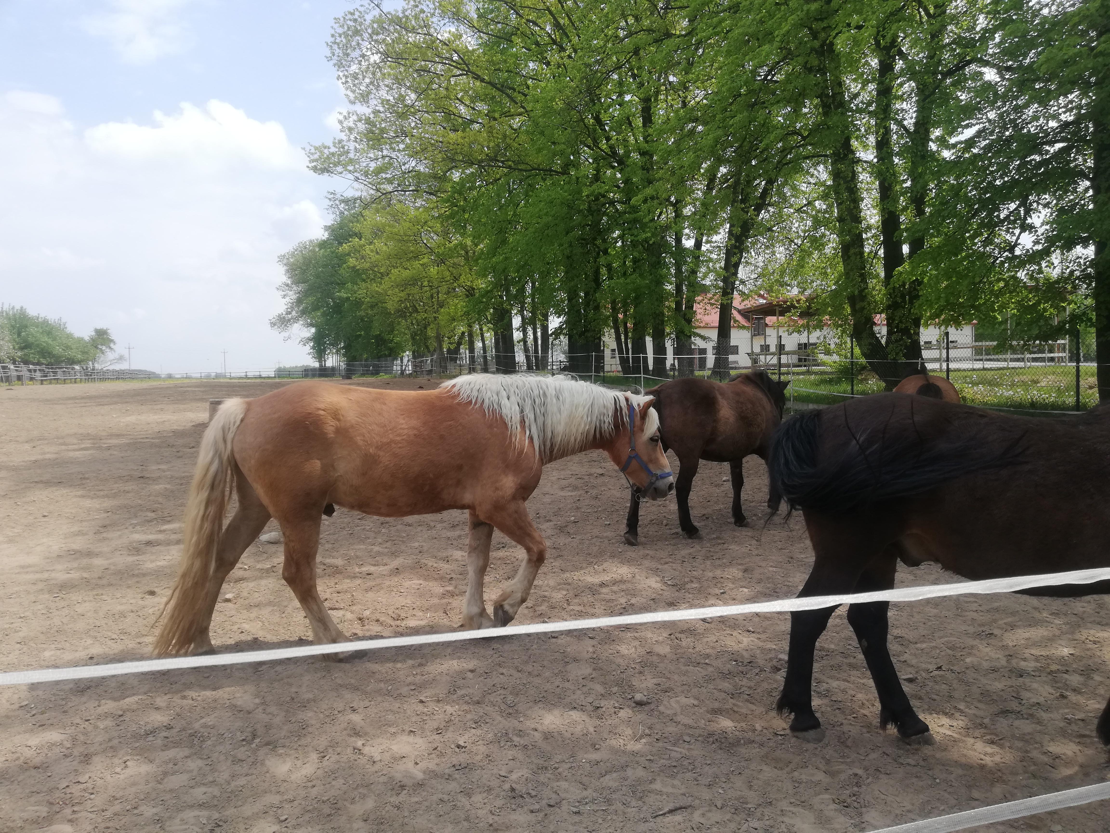 Trzy konie na wybiegu, maści odpowiednio kasztanowatej, gniadej i karej.