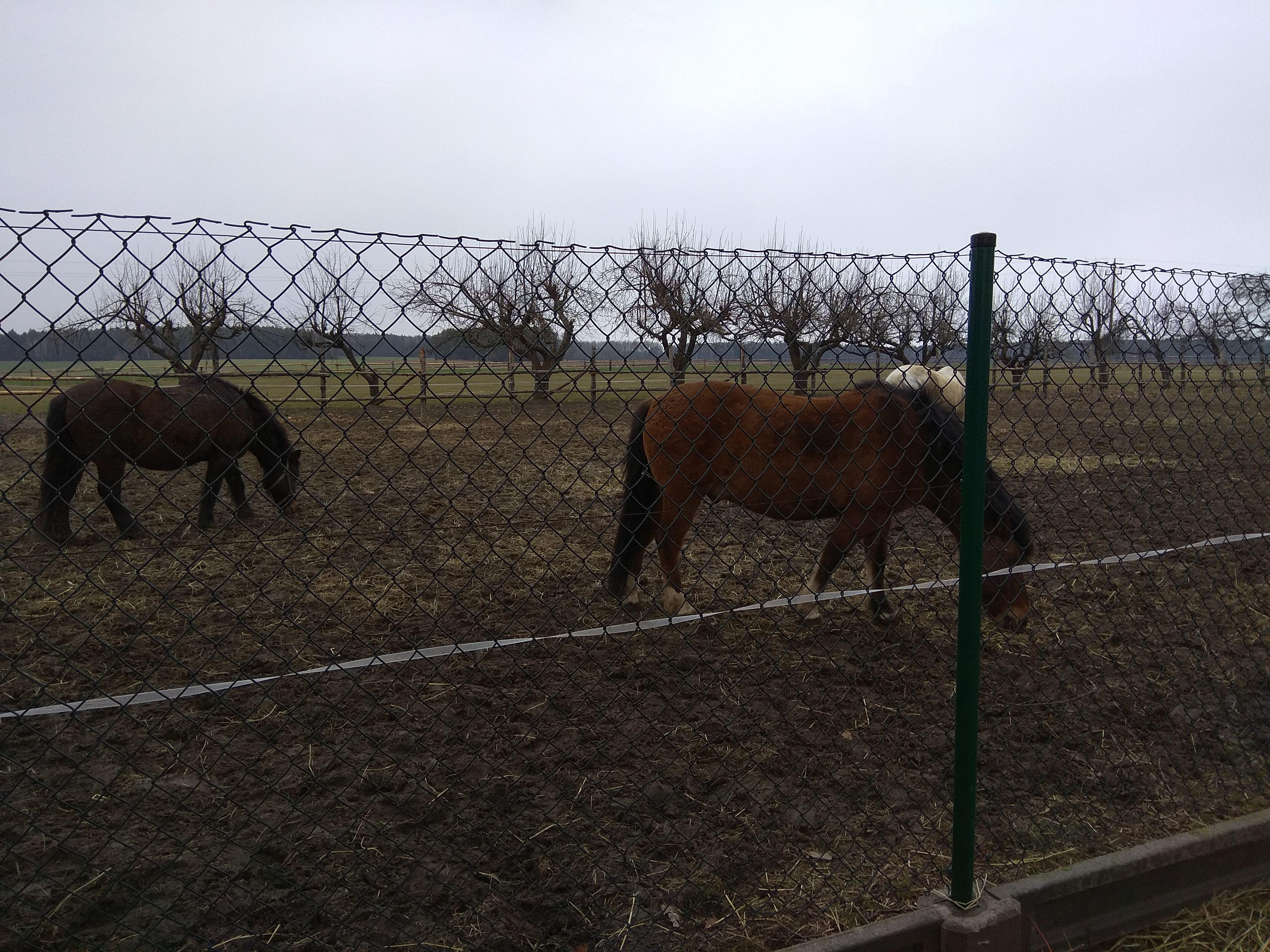 Konie na pastwisku ogrodzonym metalową siatką. W oddali pojedyncze, niewysokie drzewa bez liści.
