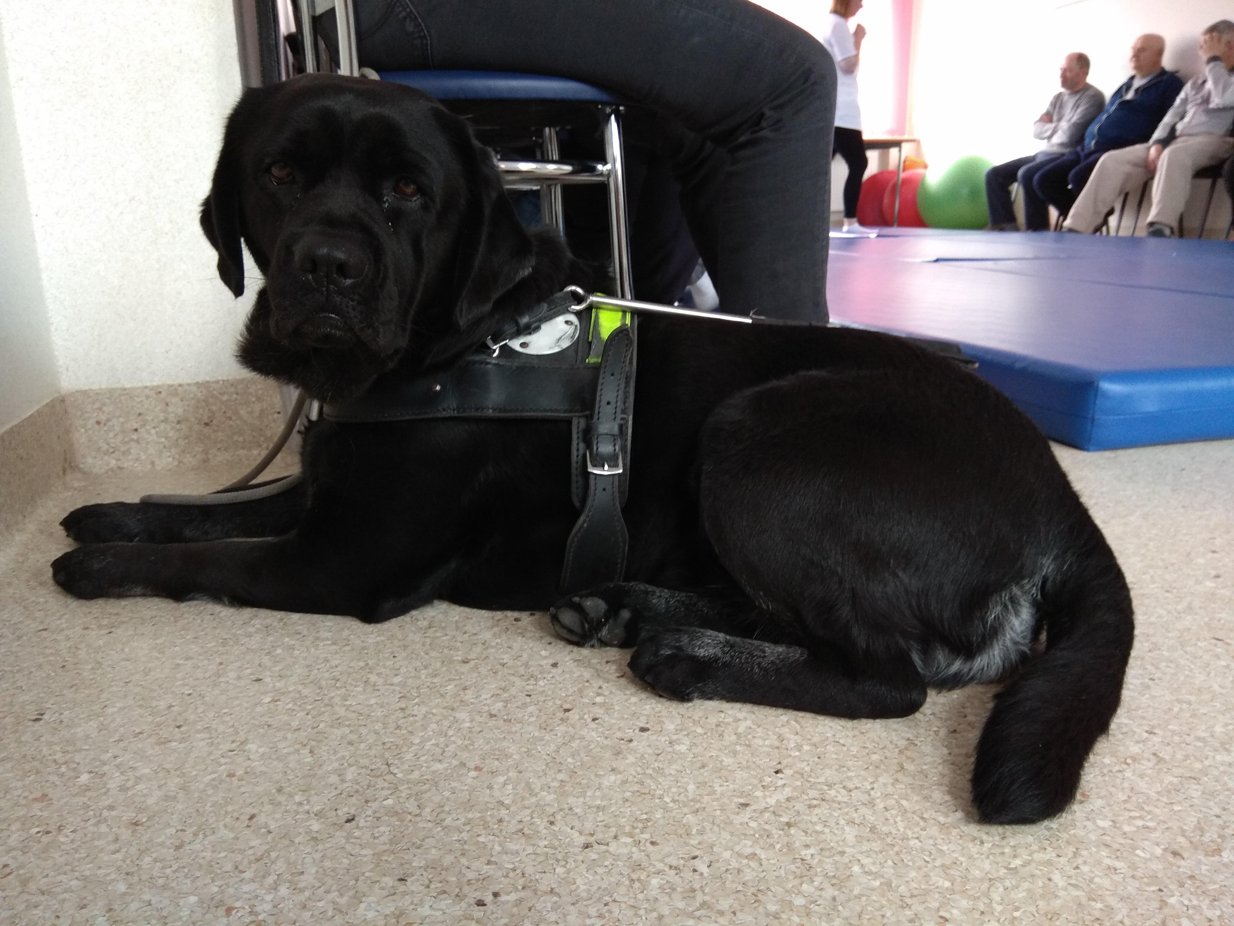 Czarny labrador w charakterystycznych szelkach psa przewodnika leżący na podłodze.