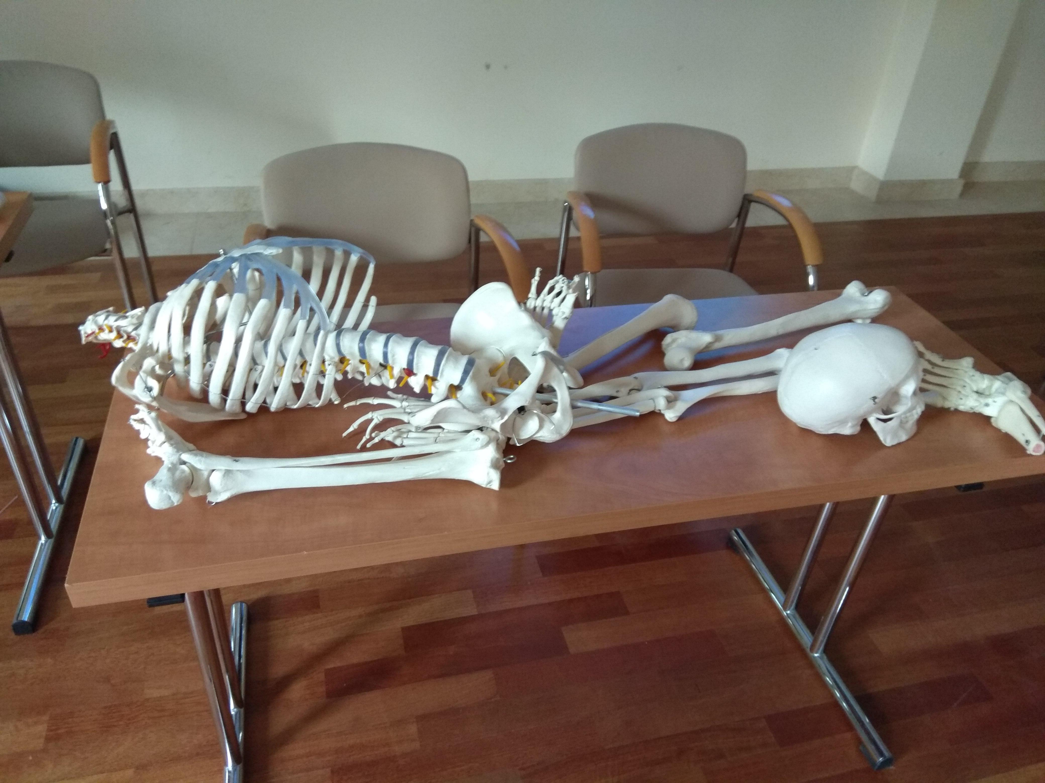 Prostokątny stół z jasnobrązowym blatem i metalowymi nogami. Na nim leży model ludzkiego szkieletu, czaszka leży oddzielnie, bliżej kończyn dolnych.