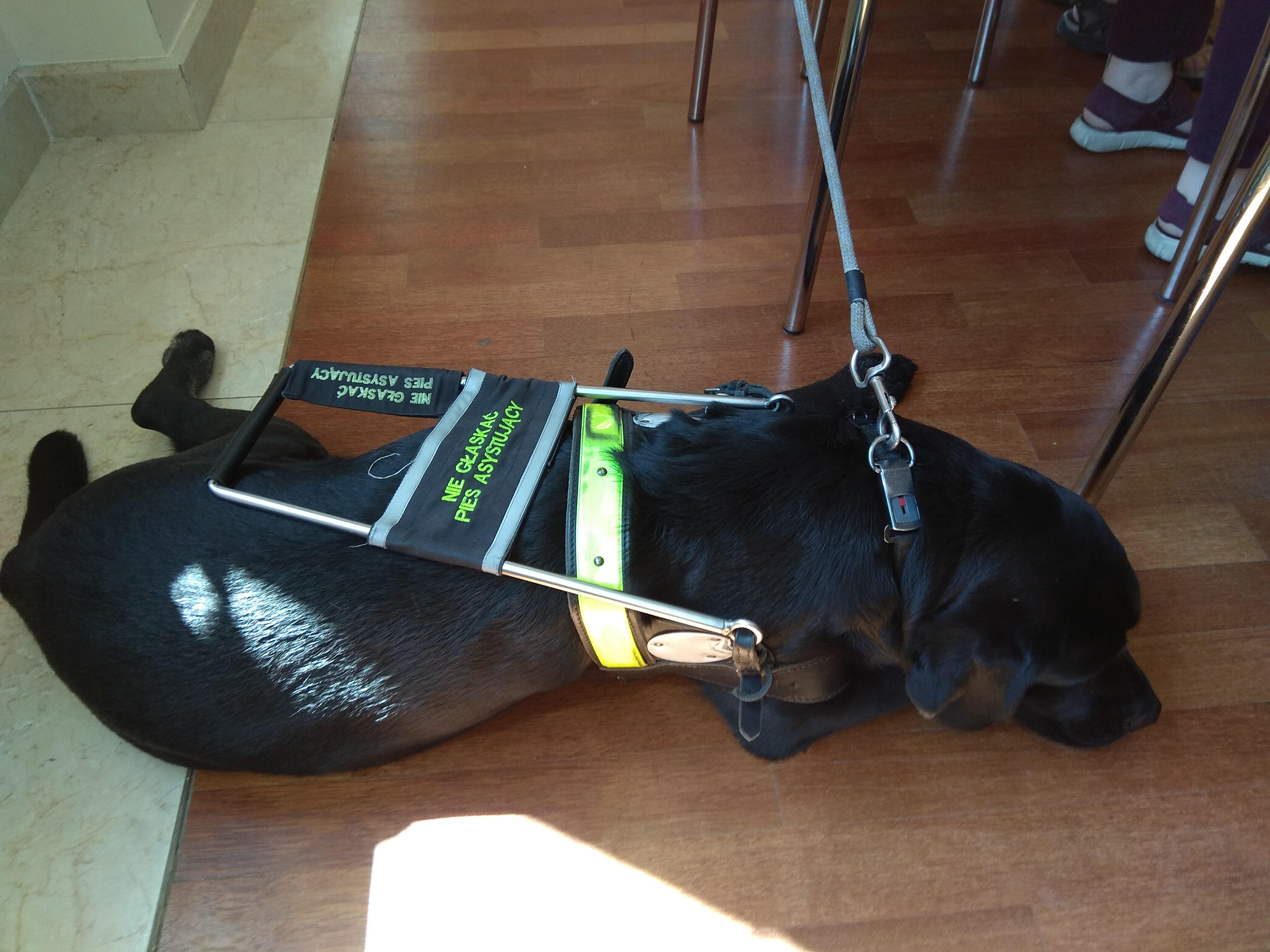 Czarny labrador leżący na podłodze to pies – przewodnik z charakterystyczną dla niego uprzężą.