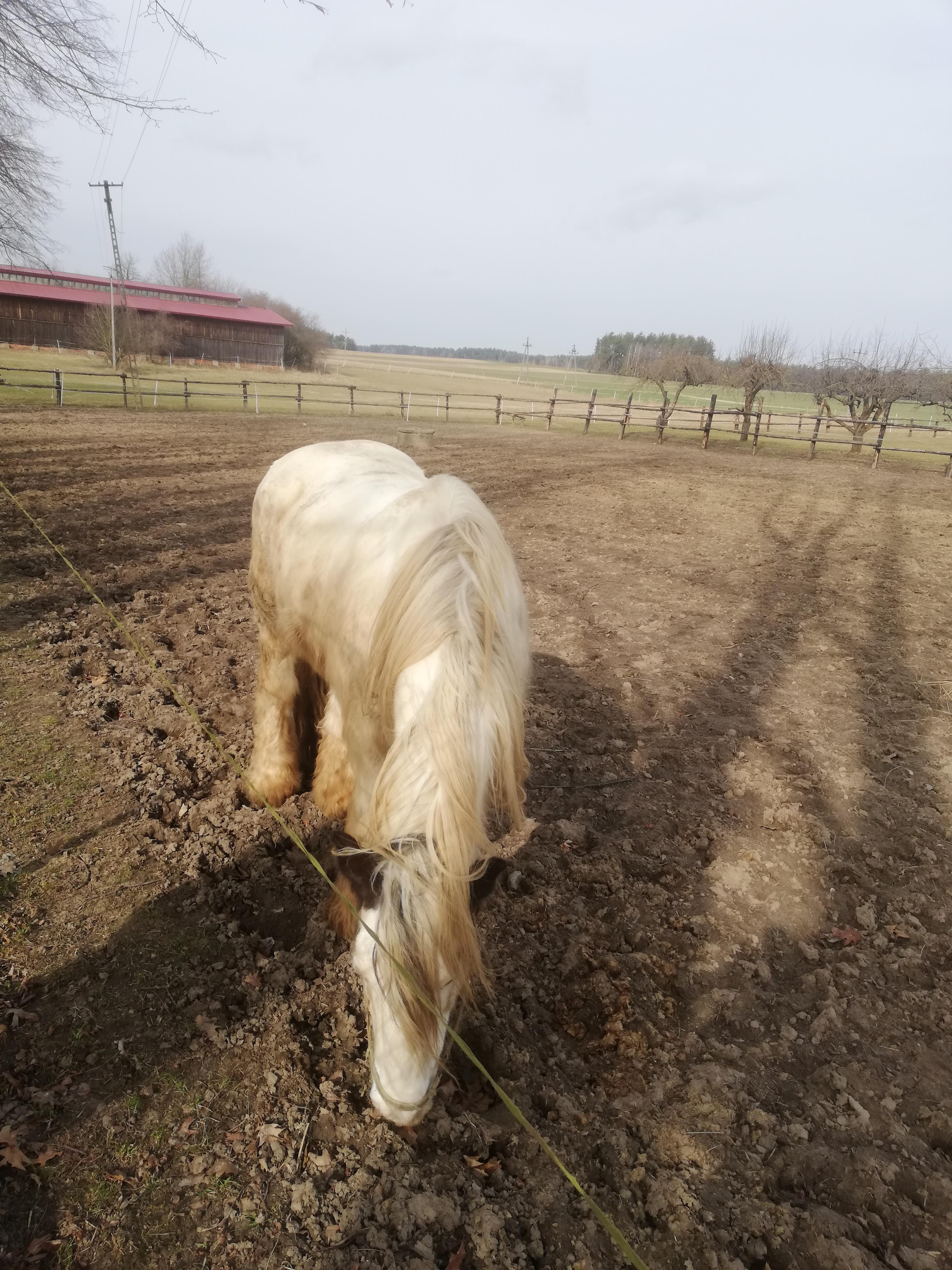 Na pastwisku jasno umaszczony koń skubiący wysuszoną trawę.
